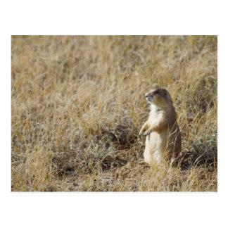 Black-tailed Prairie Dog Postcard