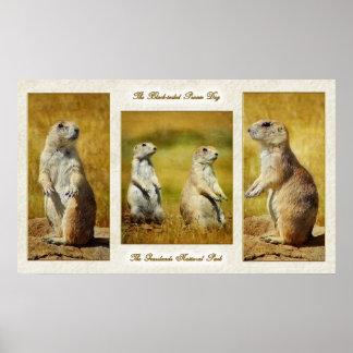 Black-tailed Prairie Dog Poster