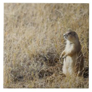 Black-tailed Prairie Dog Tile