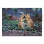 Black-tailed Prairie Dogs - (Cynomys ludovicianus) Card