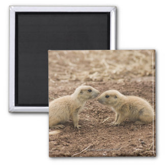 Black Tailed Prarie Marmot 2 Inch Square Magnet