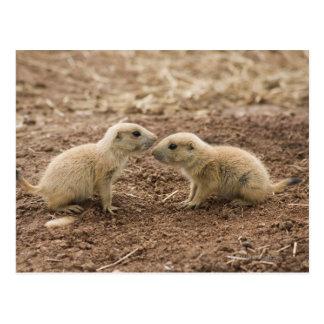 Black Tailed Prarie Marmot Postcard