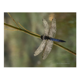 Black-tailed Skimmer Postcard