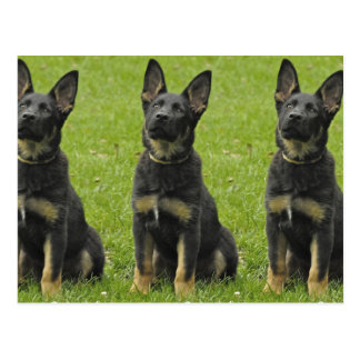 Black & Tan GSD Pup Postcard