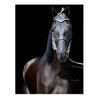 Black Tennessee Walking Horse Postcard