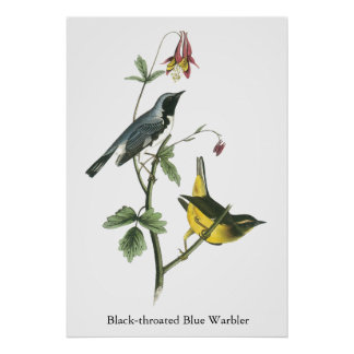 Black-throated Blue Warbler, John Audubon Poster