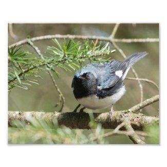 Black-throated Blue Warbler Photo Print