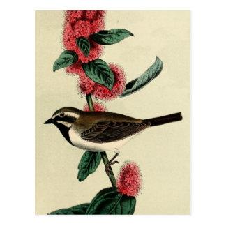 Black Throated Finch Postcard