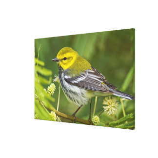 Black-throated Green Warbler Dendroica Canvas Print
