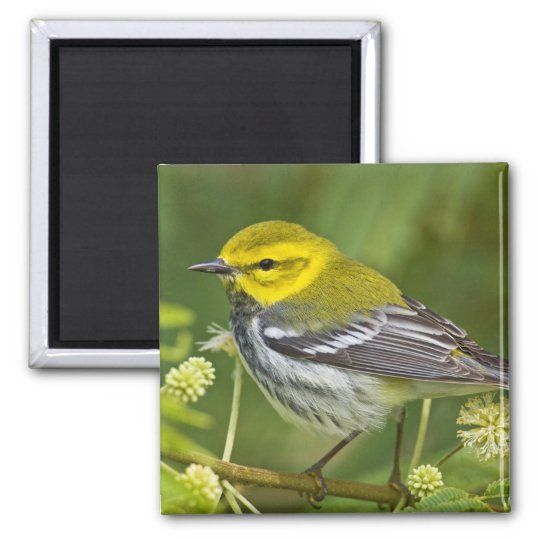 Black-throated Green Warbler Dendroica Magnet