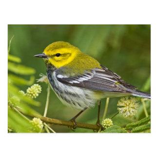 Black-throated Green Warbler Dendroica Postcard