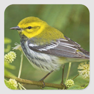 Black-throated Green Warbler Dendroica Square Sticker