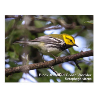 Black-throated Green Warbler Postcard