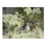 Black-Throated Sparrow on Cactus Post Cards