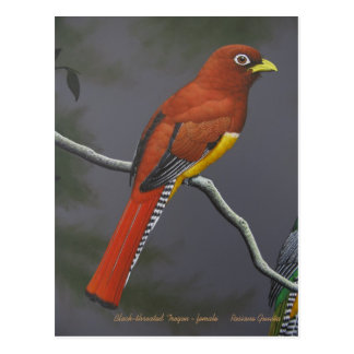 Black-throated Trogon - female Postcard