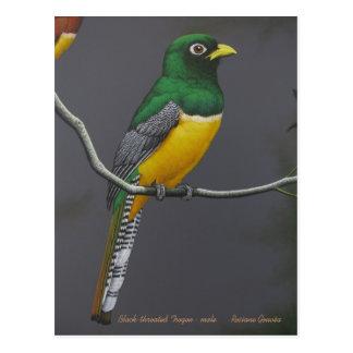 Black-throated Trogon - male Postcard