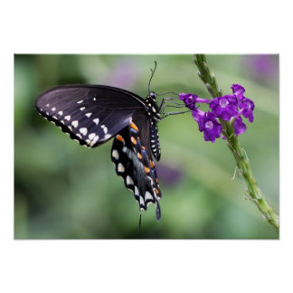 Black Tiger Swallowtail Butterfly on Canvas Print