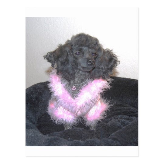 Black Toy Poodle in Pink Sweater oh la la Postcard