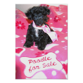 Black Toy Poodle puppy for sale Poster