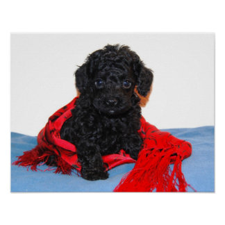 Black Toy Poodle puppy with red scarf Poster