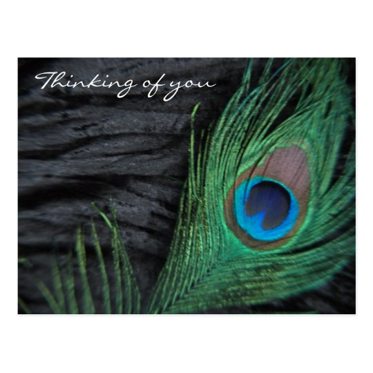 Black Velvet Peacock Feather Still Life Photograph Postcard