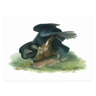 Black Vulture by Audubon Postcard