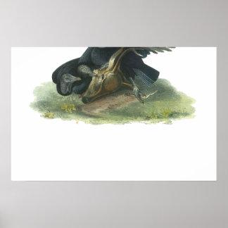 Black Vulture, John Audubon Poster