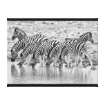 Black White African Zebra Grouping Wrapped Canvas Canvas Print