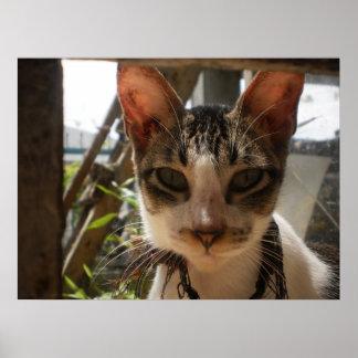 Black & White Asian Cat - Poster