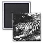 Black & White Attacking Tiger Fridge Magnet
