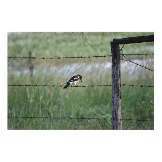 BLACK & WHITE BIRD WILLY WAGTAIL RURAL AUSTRALIA PHOTO PRINT