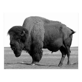 Black & White Bison / Buffalo Postcard