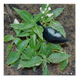 Black White Butterfly on Plant Poster