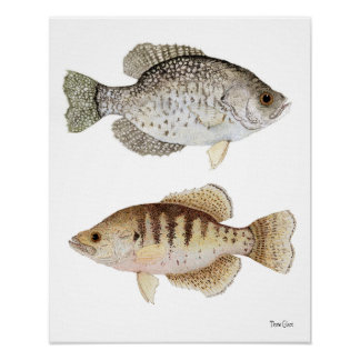 Black & White Crappies Poster