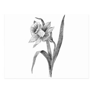 black white flowers daffodil vintage postcard