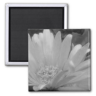 Black & White Gerber Daisy Magnet