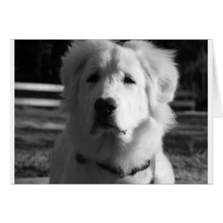Black & White Great Pyrenees Card