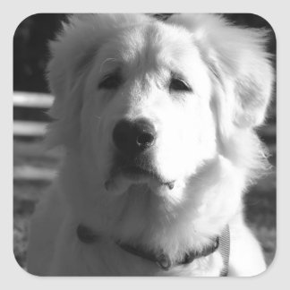 Black & White Great Pyrenees Square Stickers