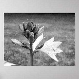 Black & White Hosta Plantain Lily Poster