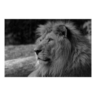 Black & White Lion - Wild Animal Photography Poster