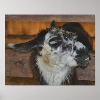 Black White Llama Farm Animal Poster