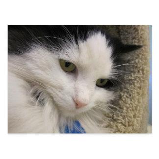 Black & White Long Hair Cat Postcard