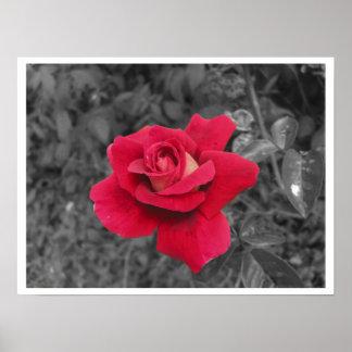 Black White Red Rose Poster