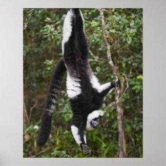 Black & white ruffed lemur hanging up-side-down poster