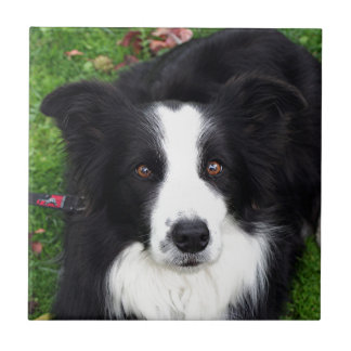 Black & white sheep dog tile