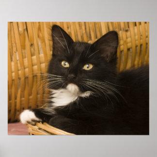 Black & white short-haired kitten on hamper lid, poster