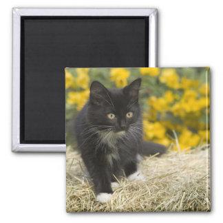 Black & white short-haired kitten on hay bale, 2 magnet