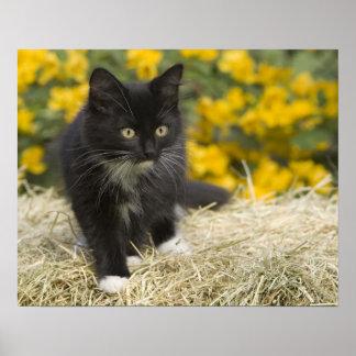 Black & white short-haired kitten on hay bale, 2 posters