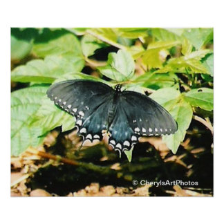 Black White Swallowtail Butterfly Photo Posters