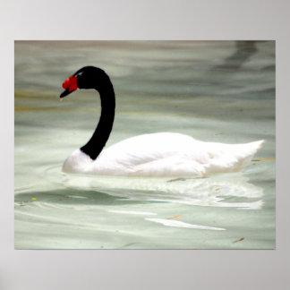 Black & White Swan, the Love Bird Poster